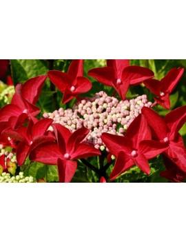 Hortensja ogrodowa 'Rotschwanz' -Hydrangea macrophylla 'Rotschwanz'