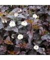 Pęcherznica kalinolistna 'Diabolo'®-Physocarpus opulifolius 'Diabolo'®