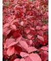 """kalina """"grandiflorum""""-viburnum plicatum grandiflorum"""