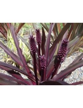 dereń skrętolistny Cornus alternifolia