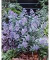 "Kariopteris klandoński,Barbula 'Grand Bleu' ®""-Caryopteris clandonensis"