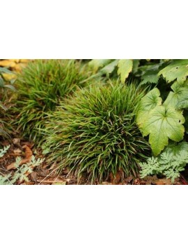 Hortensja bukietowa CANDLELIGHT® na pniu,Hydrangea paniculata