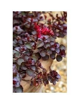 Dereń kwiecisty Alba Plena, Cornus florida alba plena