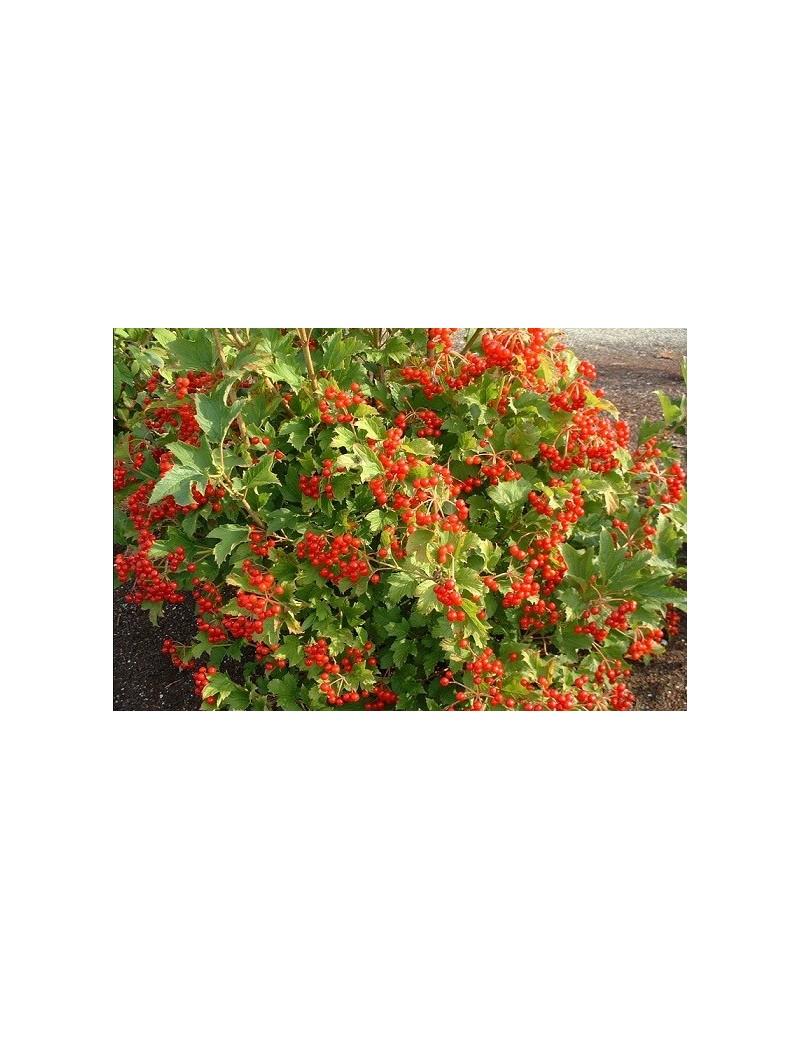 Kalina koralowa 'Compactum'-Viburnum opulus 'Compactum'