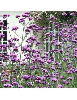 Santolina cyprysikowata, santolina chamaecyparissus