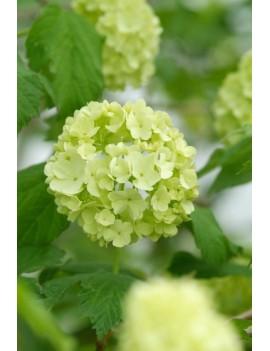 Santolina rozmarynolistna, santolina rosmarinifolia