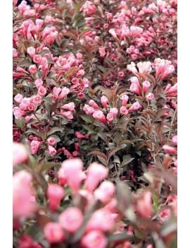 jeżówka Pink Bonbon ,echinacea