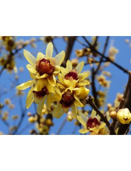 zimokwiat-Chimonanthus praecox