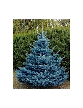 Świerk kłujący Blue Diamond PBR , Picea pungens Blue Diamond