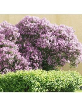 Lilak węgierski , Syringa josikaea