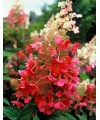 Hortensja bukietowa Pinky Winky-Hydrangea paniculata Pinky Winky