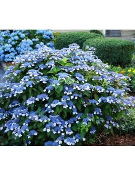 "hortensja piłkowana:bluebird""-hydrangea serrata"