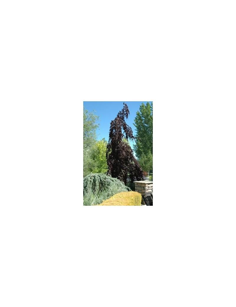 Buk pospolity 'Purple Fountain',Fagus sylvatica 'Atropurpurea Macrophylla'