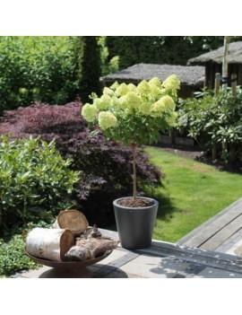 hortensja bukietowa  Limelight na sztamie ,hydrangea paniculata limelight