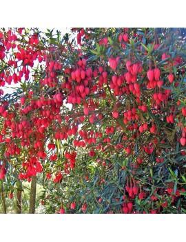 Crinodendron hookerianum