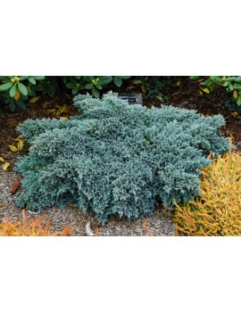 jałowiec łuskowaty 'Blue Star'-Juniperus squamata 'Blue Star'