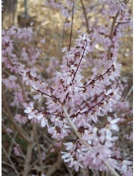 Abeliophyllum distichum Roseum-Abeliophyllum koreańskie 'Roseum' różowa forsycja
