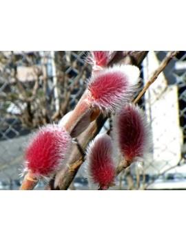 wierzba smukłoszyjkowa Mt Aso ,Salix gracilistyla 'Mt Aso'