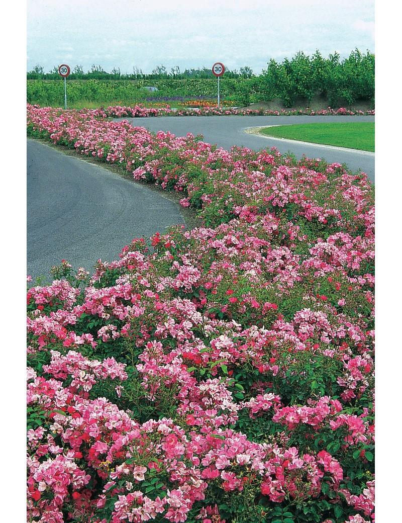 Róża FLORIADE 2002®