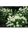 Hortensja bukietowa Limelight -Hydrangea paniculata Limelight