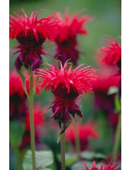 Pysznogłówka ogrodowa Cambridge Scarlet,, Monarda hybrida Cambridge Scarlet