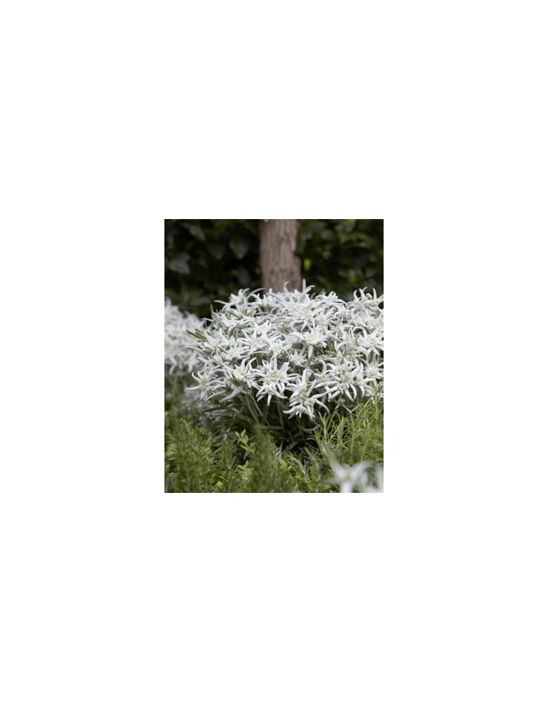 Szarotka alpejska, Leontopodium alpinum