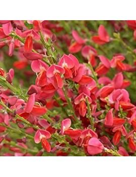 Żarnowiec 'Boskoop Ruby', Cytisus 'Boskoop Ruby'