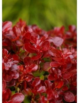 Berberys Lutin Rouge®, Berberis 'Lutin Rouge®'