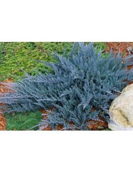jałowiec płożący Blue Chip, juniperus