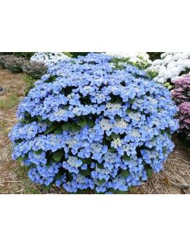 Hortensja ogrodowa Blaumeise, Hydrangea
