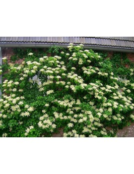 Hortensja pnąca, hydrangea anomala prtiolaris