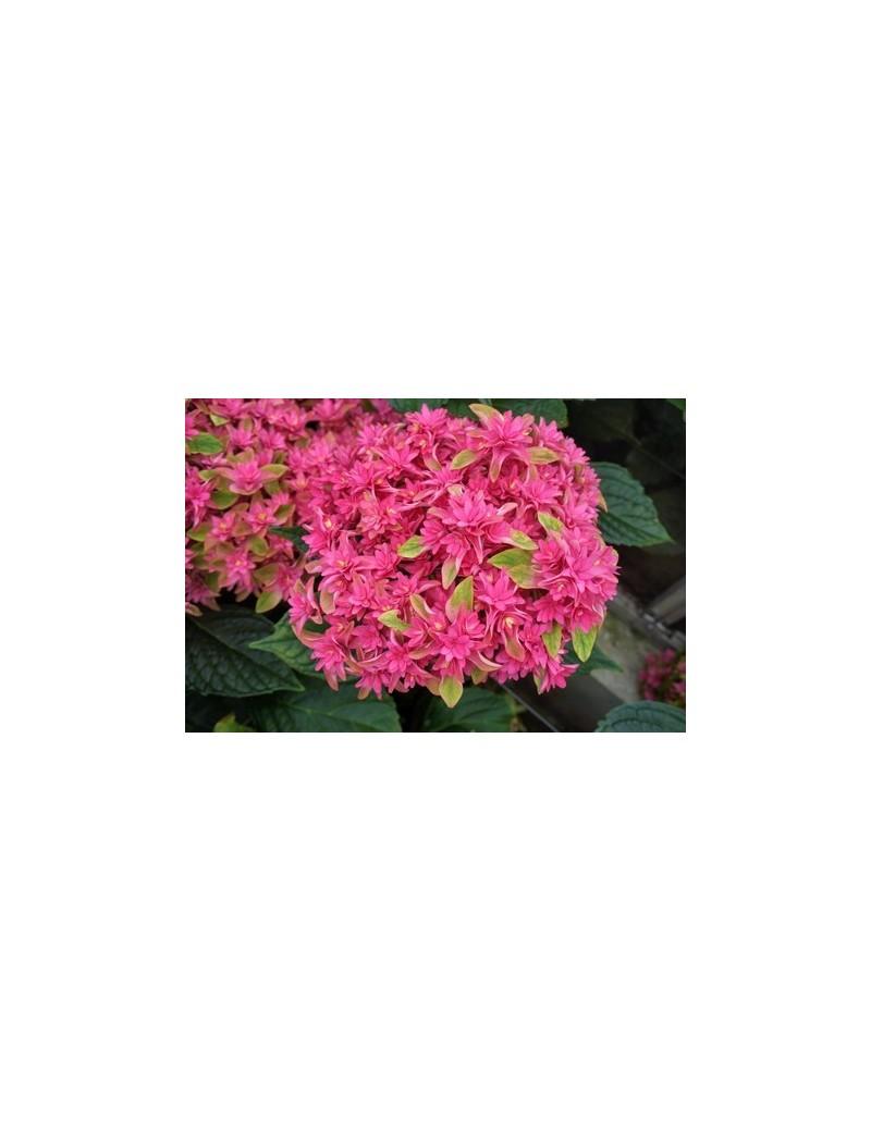Hortensja ogrodowa Princes Diana - Hydrangea macrophylla Princess Diana