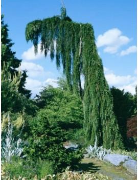 """mamutowiec olbrzymi 'Pendulum',Sequoiadendron giganteum 'Pendulum"""""""