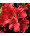 rhododendron arabesk-grupa azalii japońskich