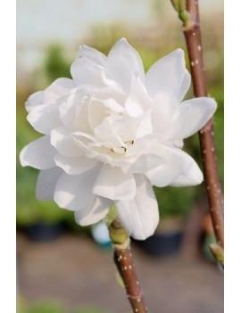 Magnolia loebneri Wildcat