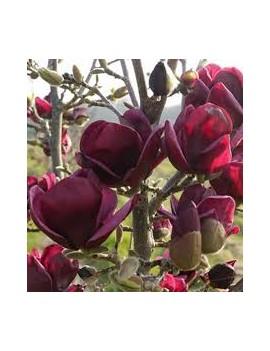 Magnolia Genie PBR