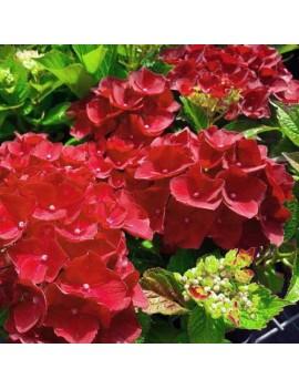 Hortensja ogrodowa 'Red...