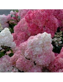 Hortensja bukietowa Rehny Hydrangea paniculata Renhy VANILLE FRAISE