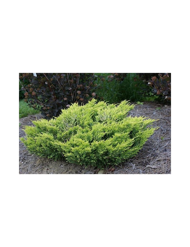 """jałowiec płożący""""Limeglow""""-Juniperus horizontalis 'Limeglow'"""