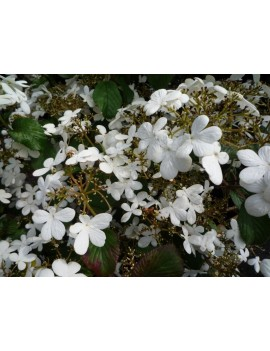 Kalina japońska 'Watanabe'-Viburnum plicatum 'Watanabe'