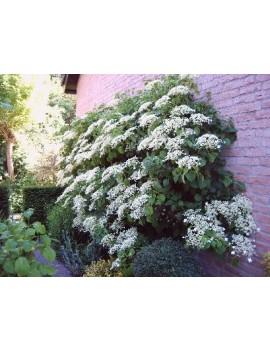 Hortensja pnąca-Hydrangea anomala (H. petiolaris)