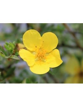żółty pięciornik krzewiasty-Potentilla fruticosa