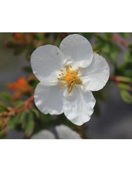 biały pięciornik krzewiasty-Potentilla fruticosa