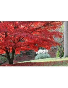 Klon palmowy czerwony-Acer palmatum var atropurpureum