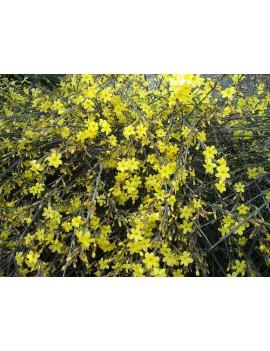 Jaśmin nagokwiatowy-Jasminum nudiflorum