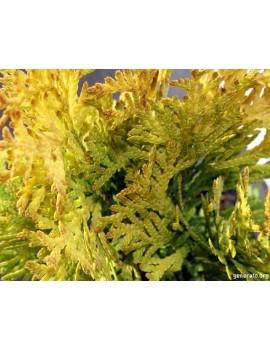 złoty szmaragd-Thuja occidentalis 'Jantar'