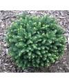 Świerk serbski 'Karel'-Picea omorika 'Karel'