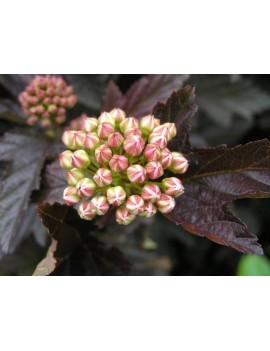 Pęcherznica kalinolistna 'Red Baron'-Physocarpus opulifolius 'Red Baron'