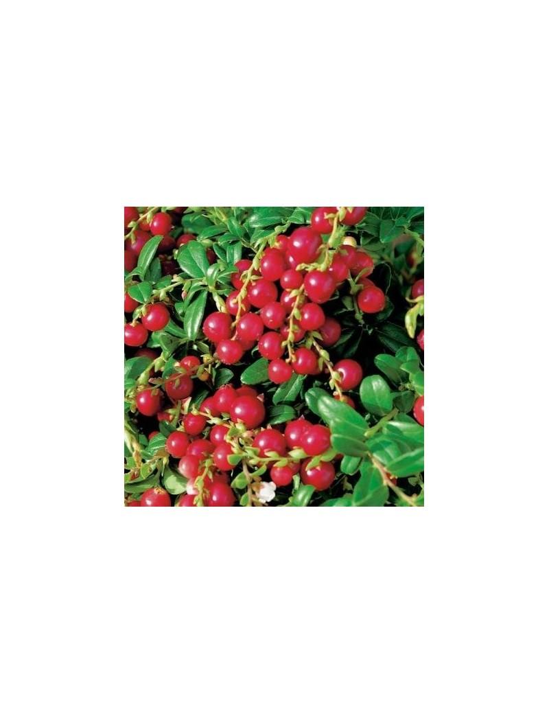 "Borówka brusznica (Vaccinium vitis-idaea ""Miss cherry"")"