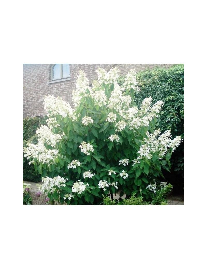 Hortensja wiechowata LEVANA COV ®-Hydrangea paniculata LEVANA COV ®